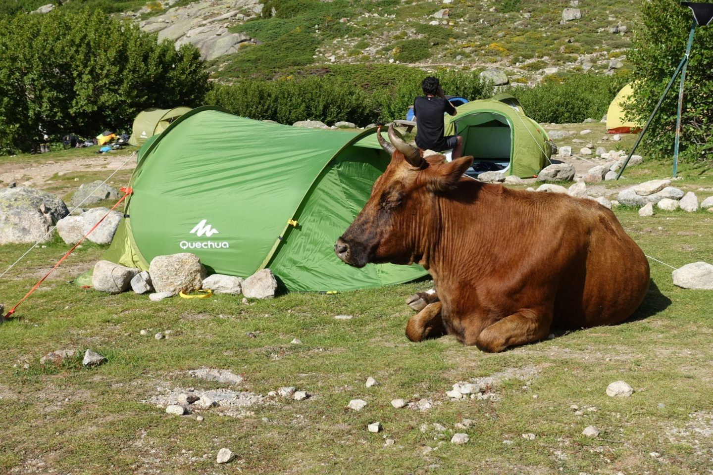A cow in the middle of a campsite, lying down amongst campers