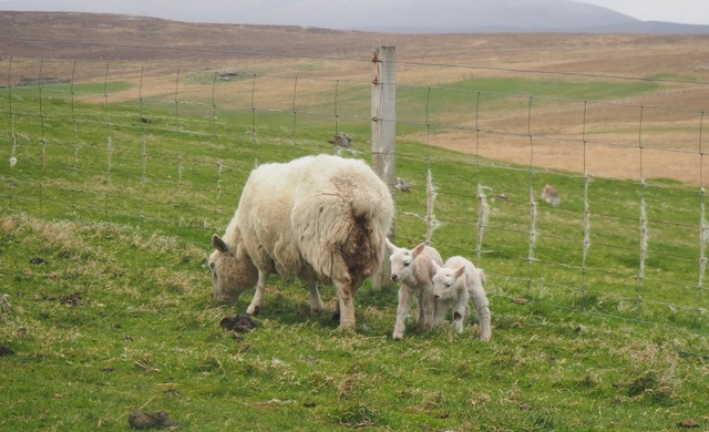 caledonian sleeper review: A sheep and two small lambs grazing