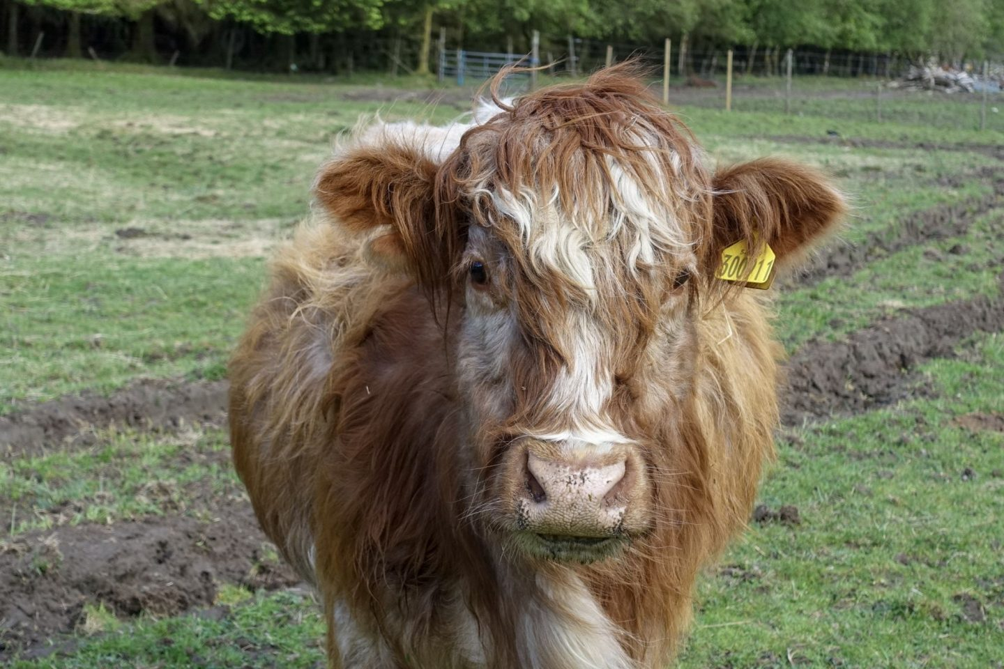 A close up of a Scottish Highland Cow, looking face on into the camera