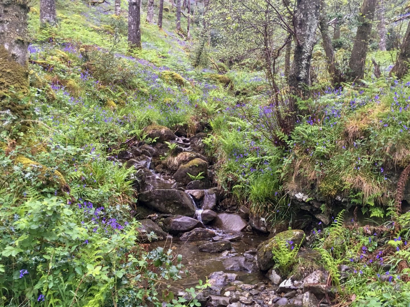A rocky stream snaking through trees and grass, lined with purple flowers