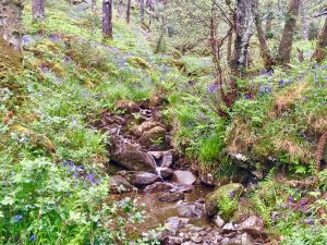 walking the west highland way: A rocky stream snaking through trees and grass, lined with purple flowers