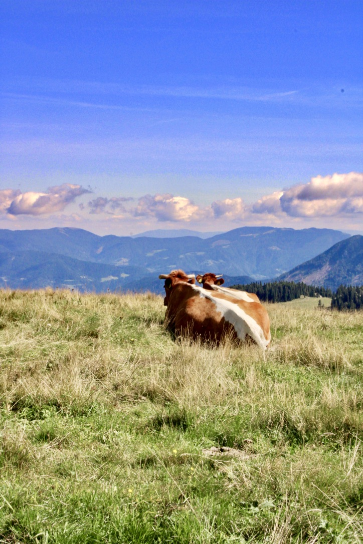 Cows looking out over Valika planina