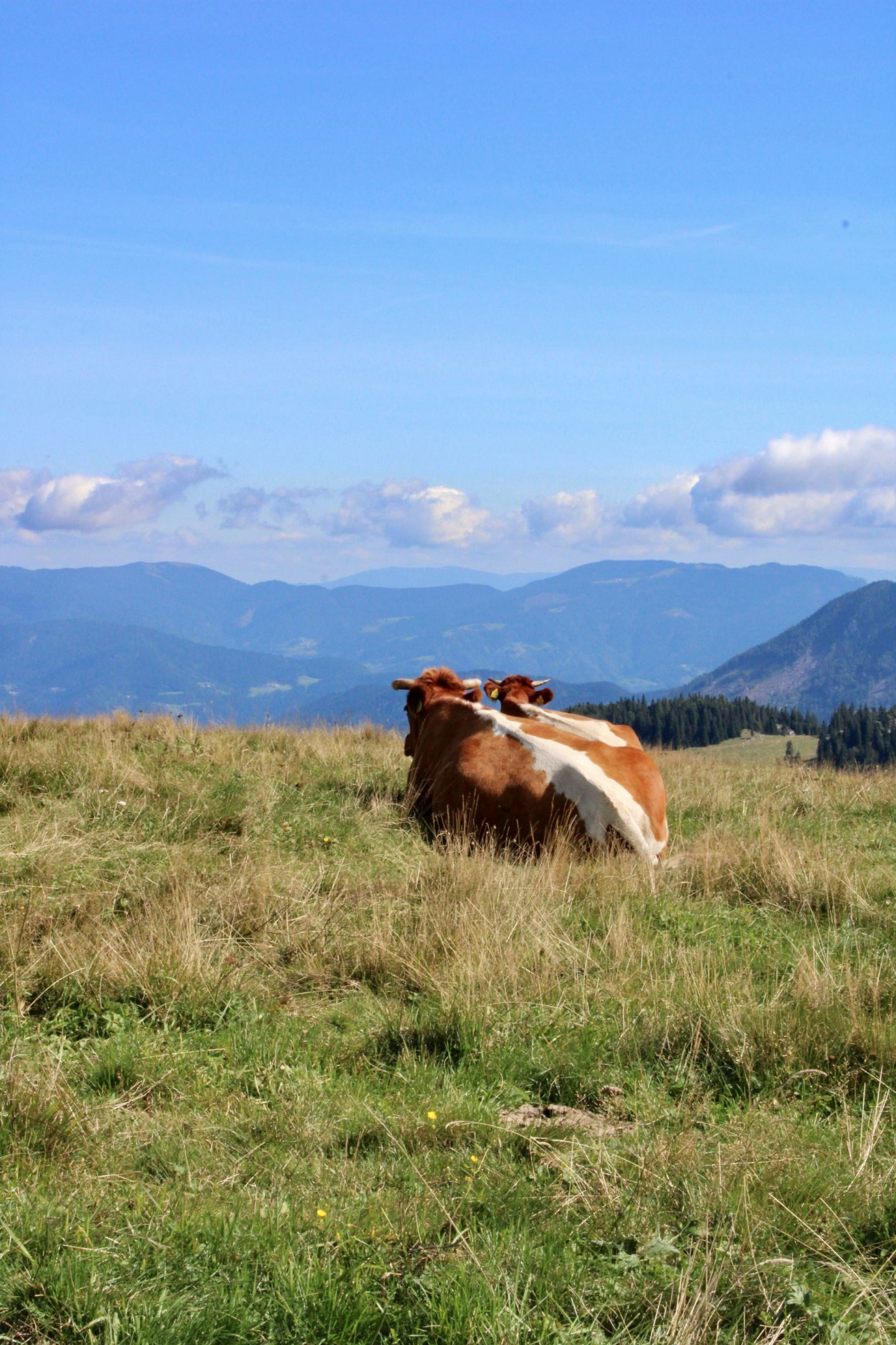 Kamnik and Velika Planina: cows looking out into the distance