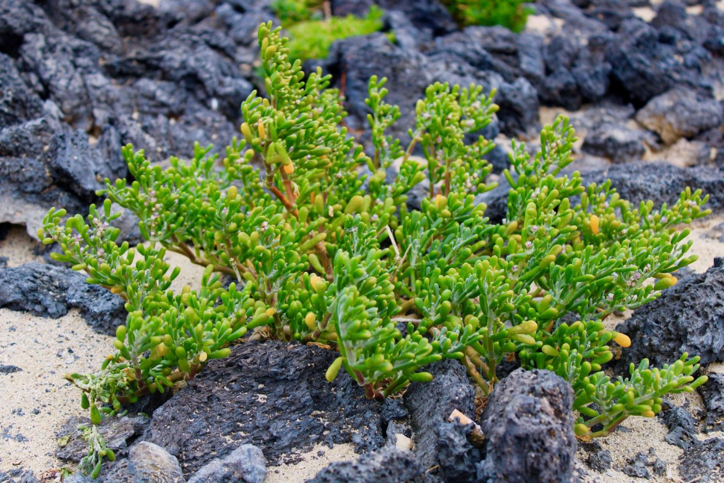 Caleton Blanco in Lanzarote, showing a close of up a bright green plant growing out of black volcanic rock, with white sand surrounding it.