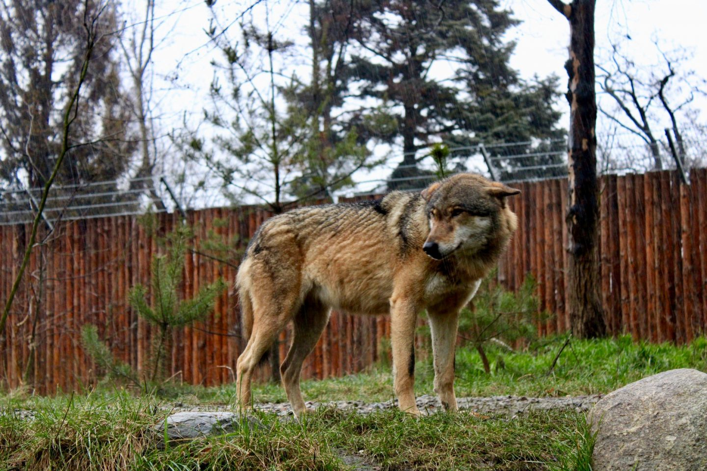 things to do in Wrocław: a picture of a wolf taken a Wroclaw zoo