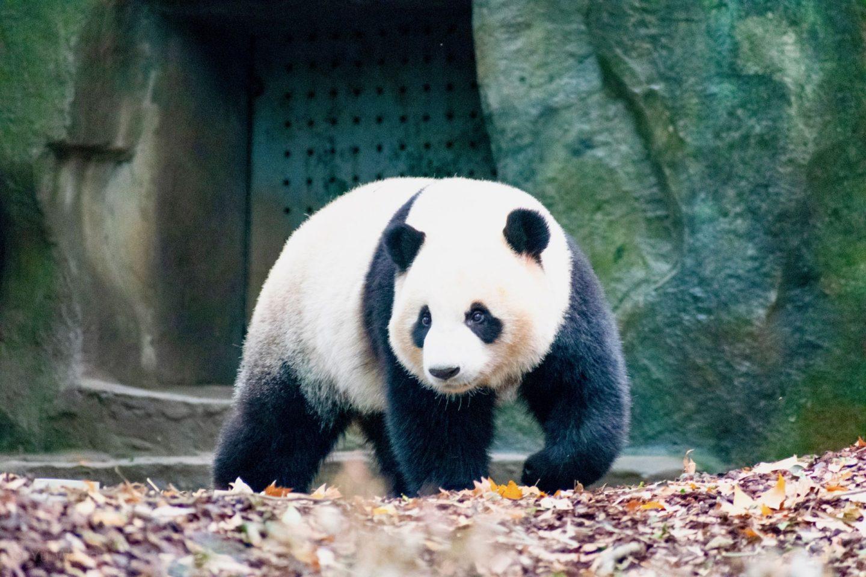 virtual travel experiences: a panda