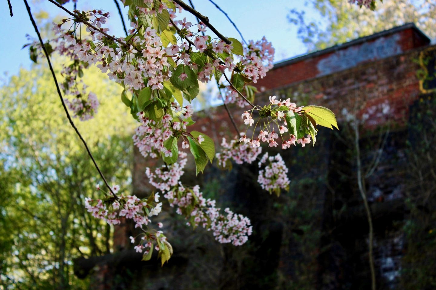 Daily lockdown exercise walk: blossom shot from underneath, with a brick wall out of focus in the background