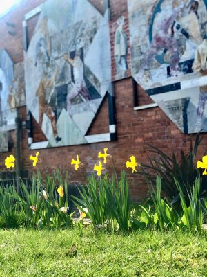 Daily lockdown exercise walk: a row of daffodils in front of a wall of graffitti