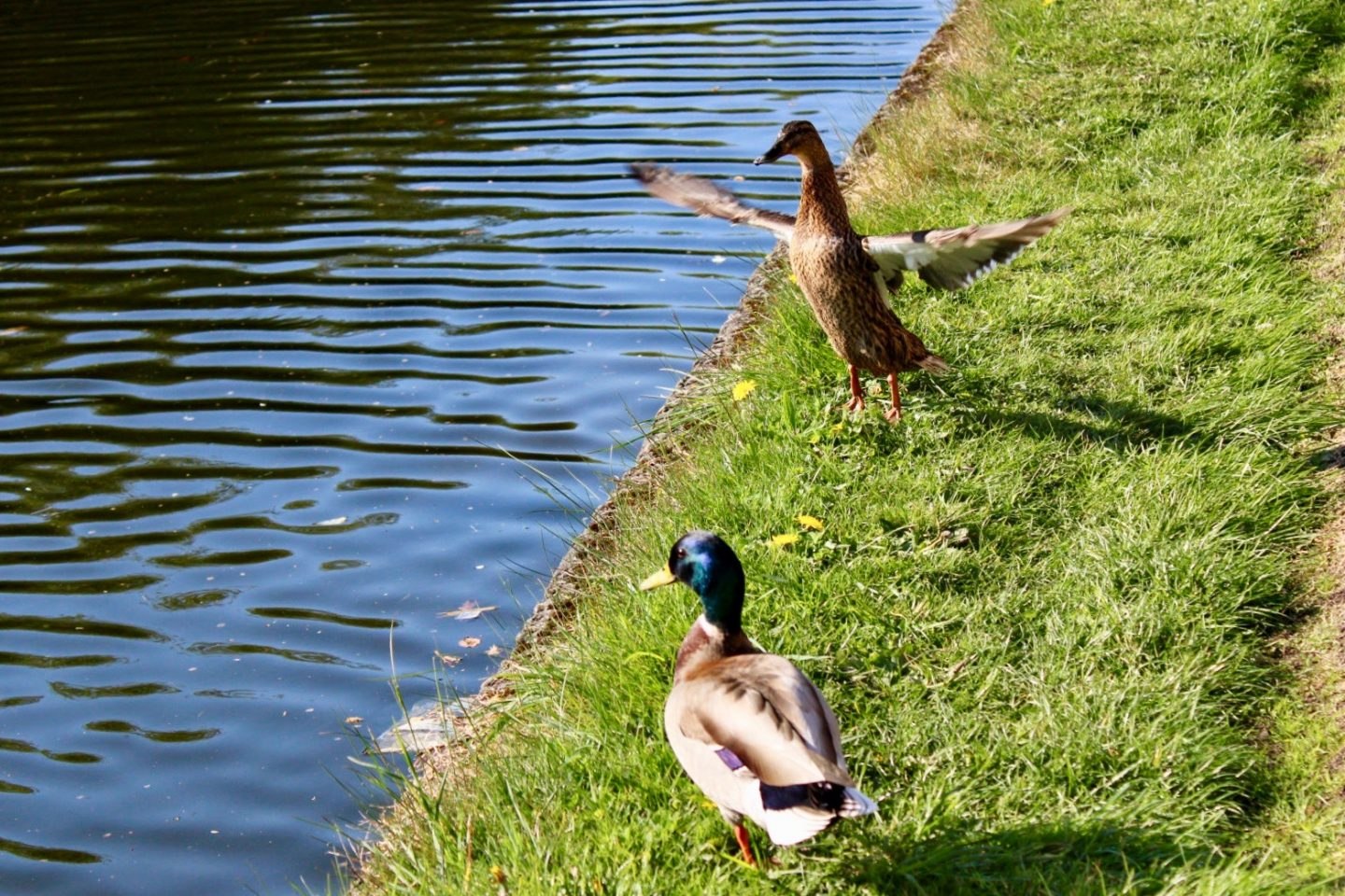 Daily lockdown exercise walk: two ducks by the canal, one with it's wings in motion
