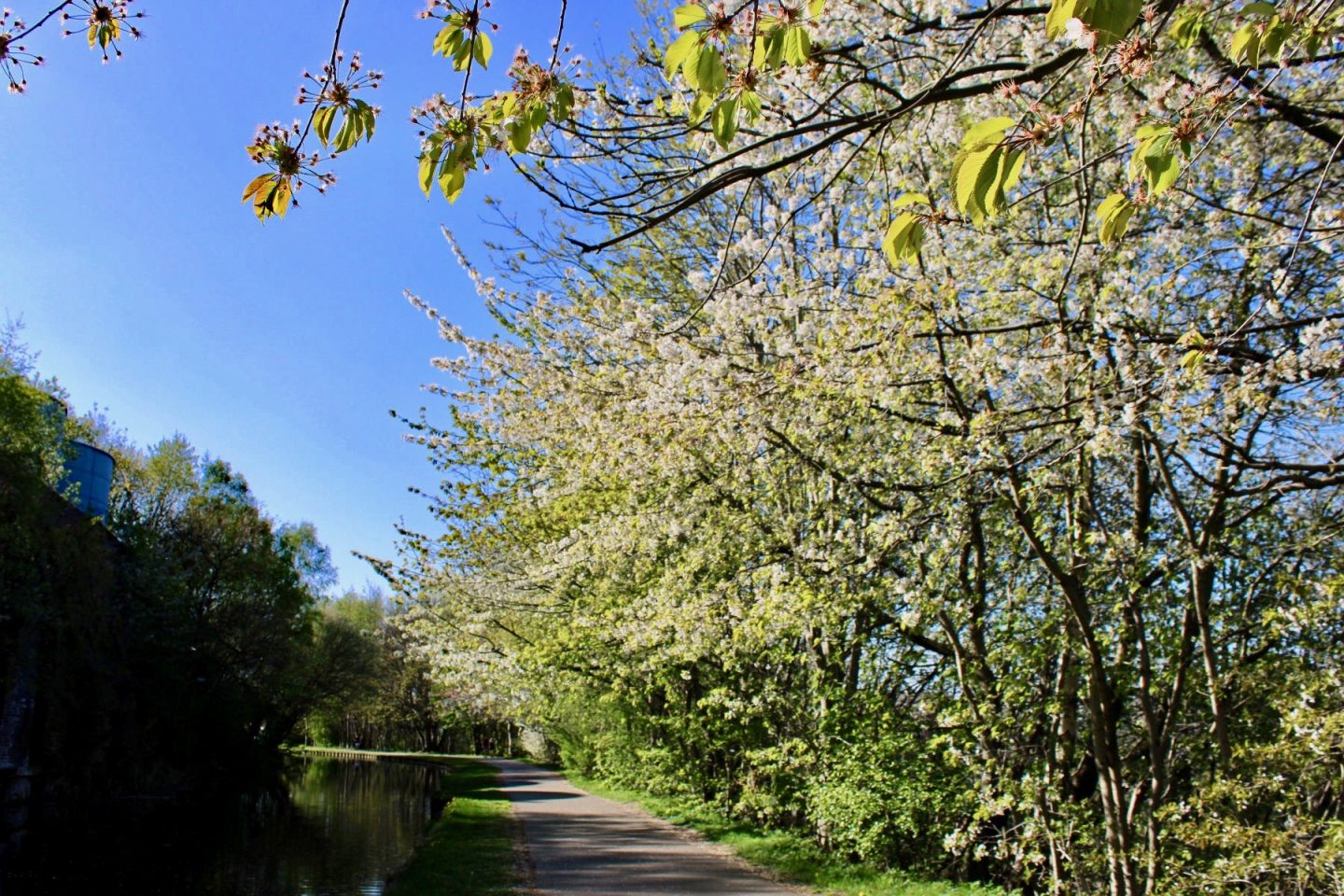 Daily lockdown exercise walk: the canal path with blossom hanging over it
