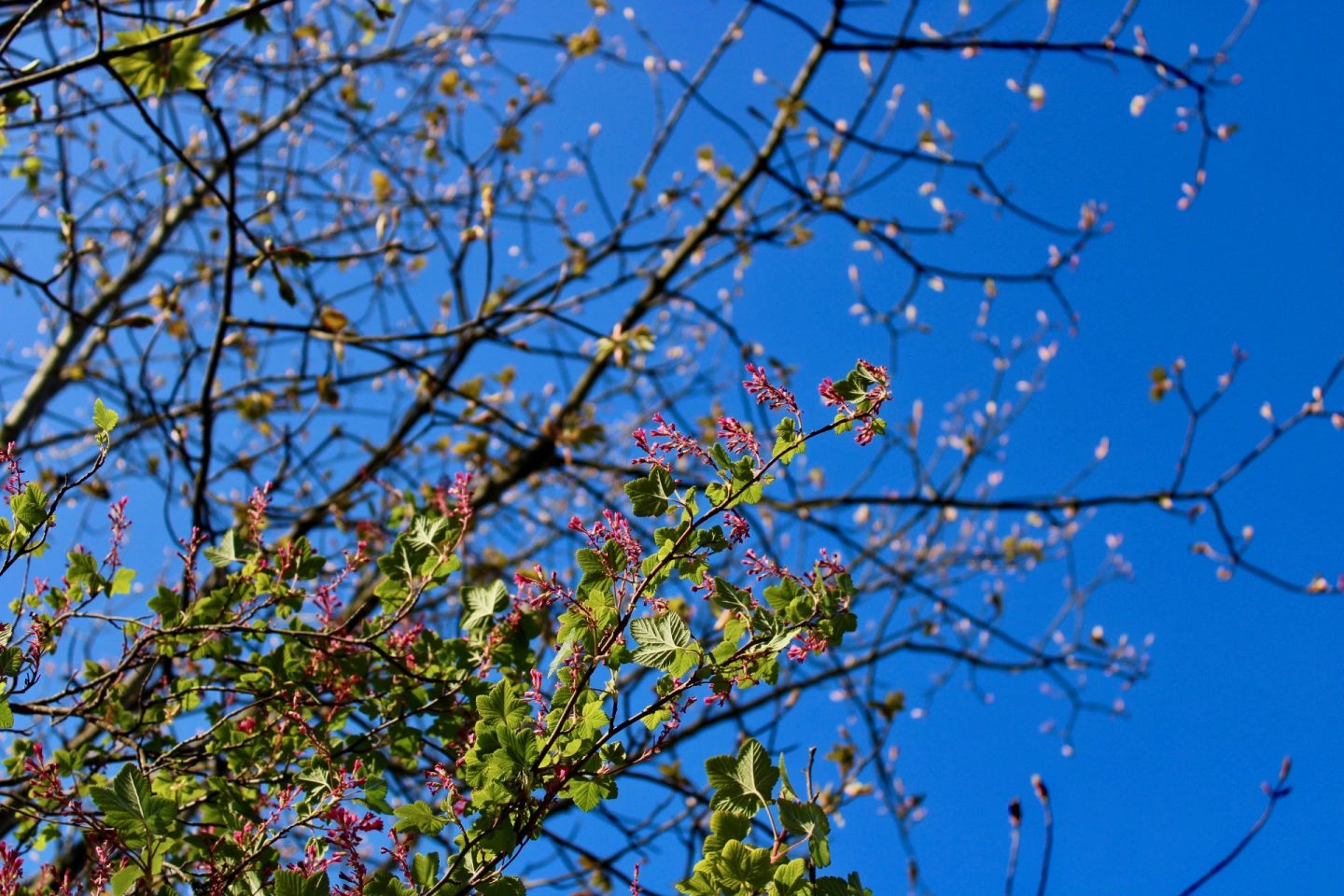 Daily lockdown exercise walk: colourful blossom against a very bright blue sky