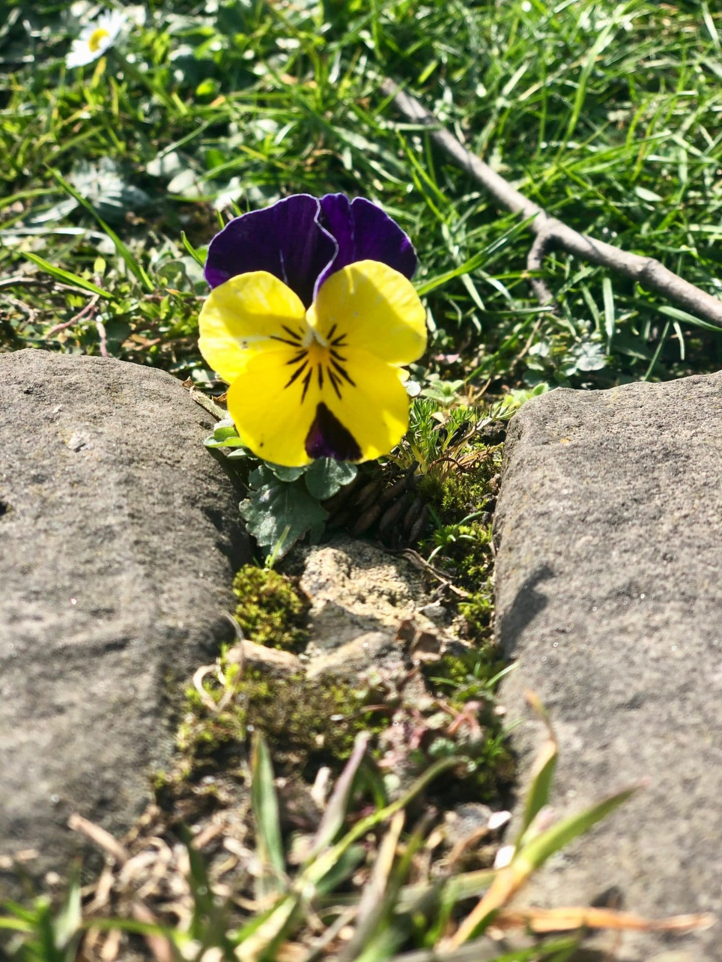 cheer someone up during lockdown: a small yellow flower and a small purple flower in the grass between two stone paving flags